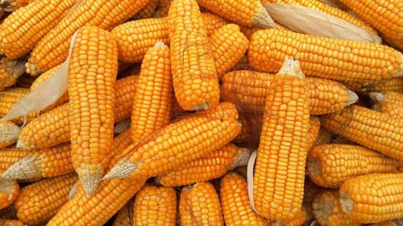 Feira do milho 2021 iniciou nesta terça-feira (1º)